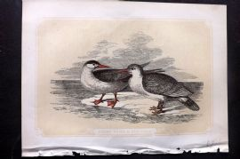 Bicknell 1850s Antique Bird Print. Great Tern & Seagull